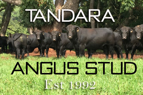 Tandara Angus Stud – Bull Sale
